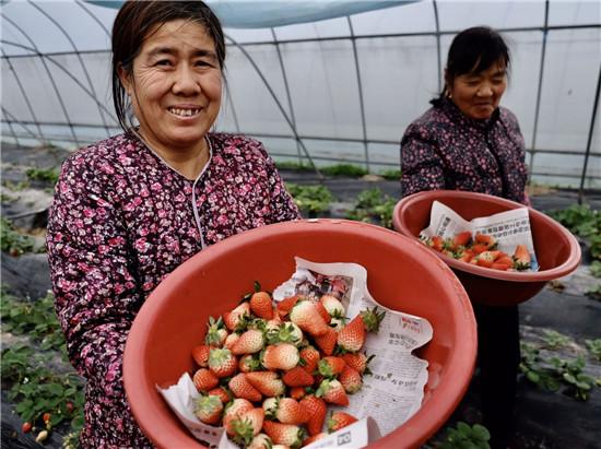 冬日草莓红 飘香贺新年