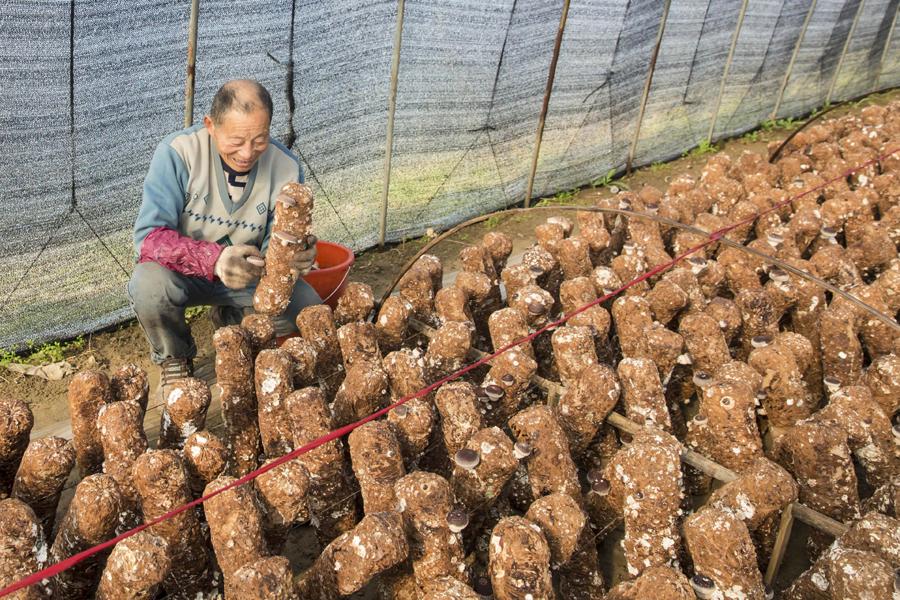 秸秆种香菇 环保又增收